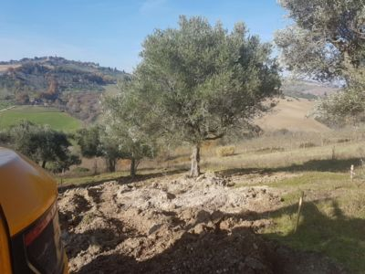 Olive Trees and View on site of new construction in Le Marche