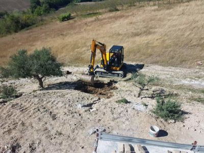 Digging to Replant an Olive at a new building site in Le Marche, Italy