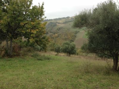 Olives and cherry on site of new construction in Le Marche