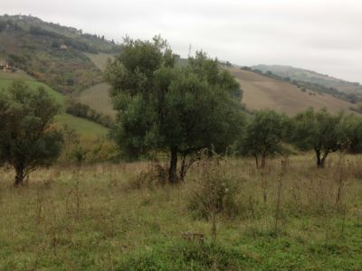 Olives and view on site of new construction in Le Marche