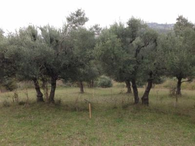 Olives that will frame front entry on site of new construction in Le Marche