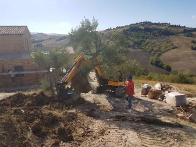 Moving an Olive Tree at a new building site in Le Marche, Italy