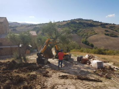 Olive Tree Move in Progress at a new building site in Le Marche, Italy