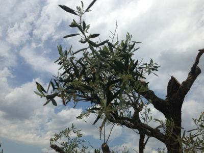 Rebirth of Pruned Olive  at site of a new house being built in Le Marche, Italy